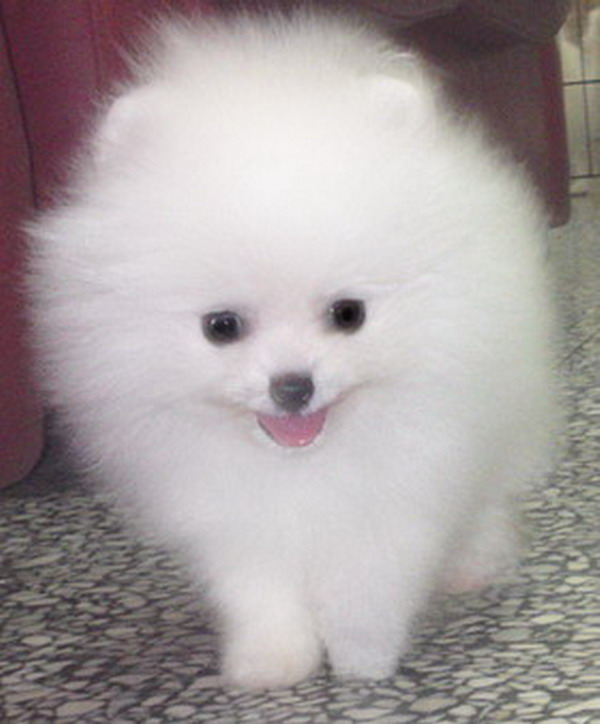 ... & Puppies for Sale: Local: White Pomeranian puppy, parents imported