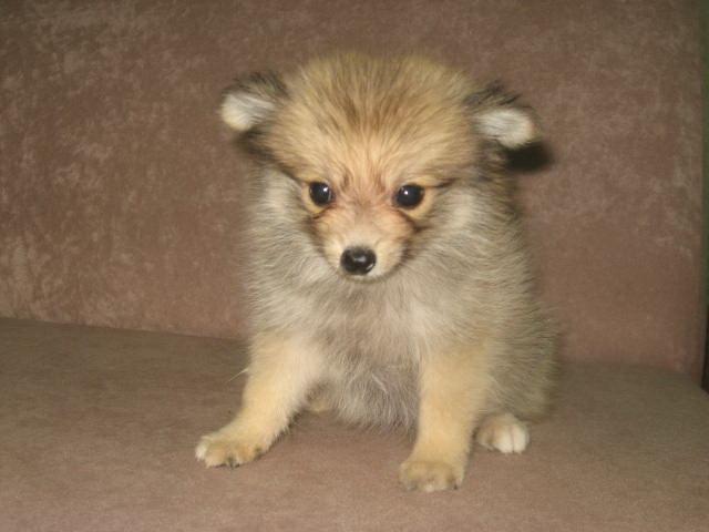 Dog Pomeranian For Sale In Malaysia